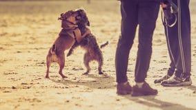 Dois cães do híbrido que jogam junto na praia Fotografia de Stock