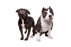 Dois cães do pitbull Fotos de Stock