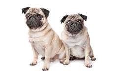 Dois cães do pug Fotos de Stock Royalty Free