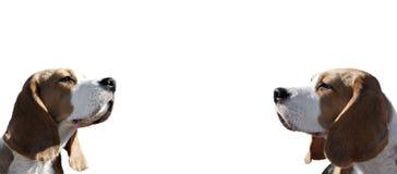 Dois cães do quadro do lebreiro fotos de stock