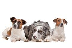 Dois cães do terrier de Jack Russel e um collie de beira Fotografia de Stock Royalty Free