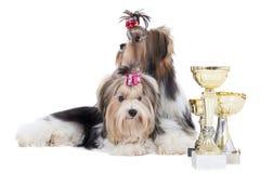 Dois cães do yorkshire terrier da raça com copos Foto de Stock Royalty Free