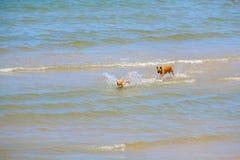 Dois cães dos amigos estão jogando no mar Imagens de Stock
