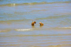 Dois cães dos amigos estão jogando no mar Imagem de Stock