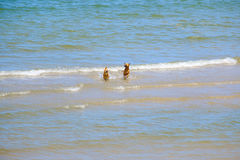 Dois cães dos amigos estão jogando no mar Fotos de Stock