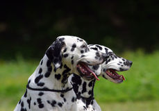 Dois cães dos Dalmatians Fotografia de Stock Royalty Free