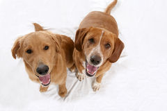 Dois cães dourados que olham acima no fotógrafo Fotografia de Stock Royalty Free