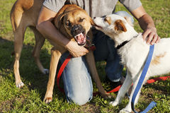 Dois cães e instrutor Playing no parque Imagens de Stock