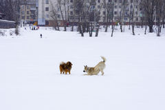 Dois cães em um bom humor que joga na rua Fotografia de Stock Royalty Free