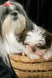 Dois cães em uma cesta 2 Fotografia de Stock Royalty Free