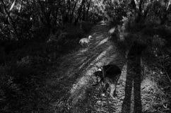 Dois cães em uma estrada de terra no por do sol Fotografia de Stock