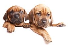 Dois cães emitem uma mensagem! Fotografia de Stock Royalty Free