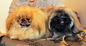 Dois cães engraçados do pequinês imagens de stock