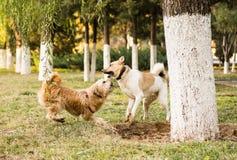 Dois cães engraçados que jogam no parque Fotografia de Stock Royalty Free