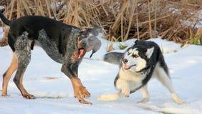 Dois cães fazem uma mostra Imagem de Stock