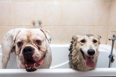 Dois cães grandes do tamanho na cuba com as expressões felizes que esperam para ser lavado Imagem de Stock