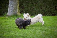 Dois cães havanese que jogam na grama no jardim Imagem de Stock