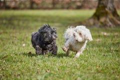 Dois cães havanese que jogam no parque fotos de stock