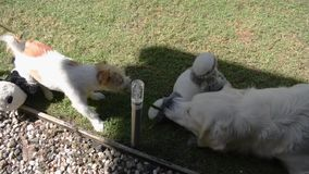 Dois cães, Jack Russell Terrier e uma luta do jogo do golden retriever sobre uma folha filme