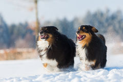 Dois cães na neve Fotografia de Stock