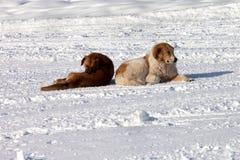 Dois cães na neve Imagem de Stock Royalty Free