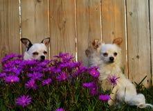 Dois cães nas flores imagem de stock