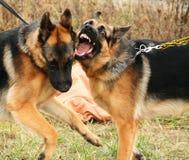 Dois cães-pastor alemães de combate fotos de stock royalty free