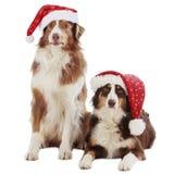 Dois cães-pastor australianos no Natal Fotos de Stock Royalty Free