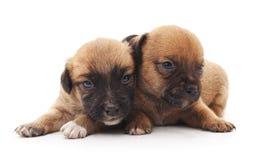 Dois cães pequenos fotos de stock