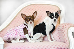 Dois cães pequenos do encanto no sofá Foto de Stock Royalty Free