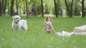 Dois cães pequenos que jogam no parque junto Animais macios pequenos que correm e que têm o divertimento fora Lazer do ver?o vídeos de arquivo