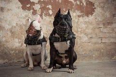 Dois cães: pitbull americano preto e touro branco mais terier nos focinhos que seatting sobre o fundo raspado da parede Imagem de Stock