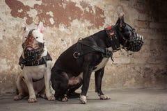 Dois cães: pitbull americano preto e touro branco mais terier nos focinhos que seatting sobre o fundo raspado da parede Fotografia de Stock