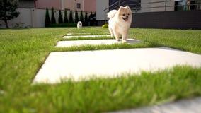 Dois cães pomeranian do spitz correm em uma telha larga na grama após uma menina Quintal com uma casa no fundo vídeos de arquivo