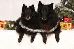 Dois cães pretos lindos com decorações do Natal fotos de stock