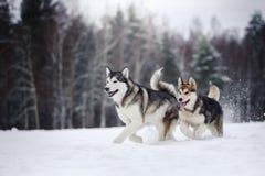 Dois cães produzem o Malamute do Alasca que anda no inverno imagem de stock