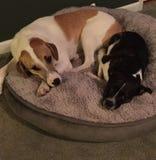 Dois cães que colocam na cama do cão Fotos de Stock