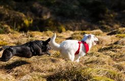 Dois cães que correm e que jogam Imagens de Stock Royalty Free