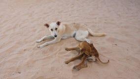 Dois cães que encontram-se na areia O cão do híbrido risca seu pé ao morder pulga filme