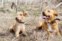 Dois cães que encontram-se na grama fotos de stock
