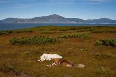 Dois cães que encontram-se no aberto Fotos de Stock