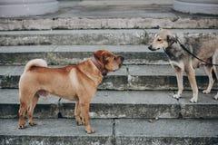 Dois cães que falam na rua Sharpei marrom bonito e cão disperso cinzento assustado que conversam em escadas Conversação entre ani fotos de stock