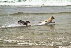 Dois cães que funcionam na água do oceano Foto de Stock Royalty Free