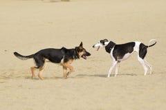 Dois cães que jogam em uma praia Imagem de Stock