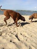 Dois cães que jogam na praia Imagem de Stock Royalty Free