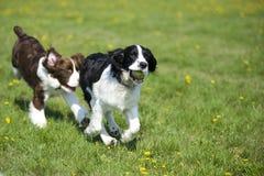 Dois cães que jogam a perseguição fotografia de stock