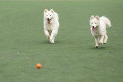 Dois cães que perseguem a esfera Fotografia de Stock