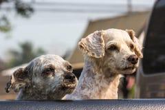 Dois cães que procuram algo fotos de stock royalty free