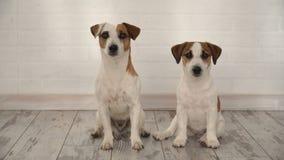 Dois cães que sentam-se em casa vídeos de arquivo