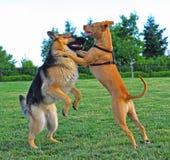 Dois cães que wrestling Fotografia de Stock Royalty Free